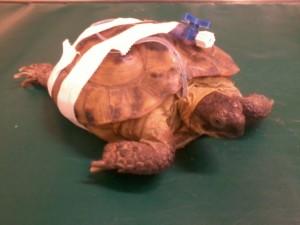 Żółw z sondą dożądkową